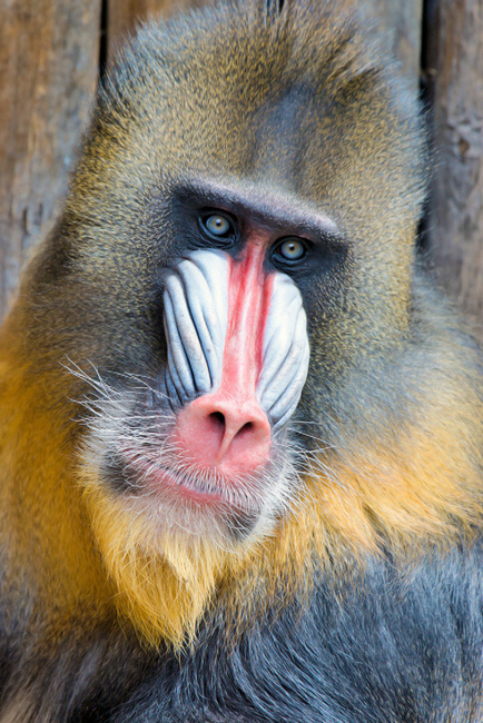 Mandril, Ouwehands Dierenpark, The Netherlands