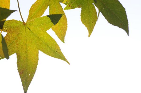 Green Leaf veins.