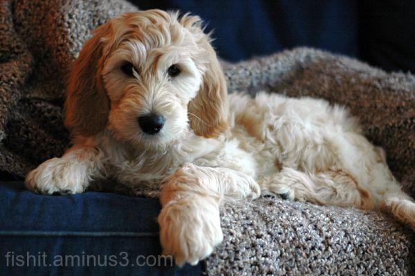 Custer Puppy