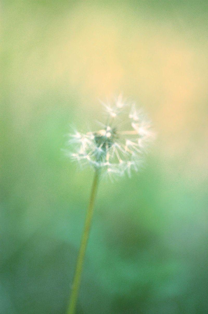 Dandilion in the grass