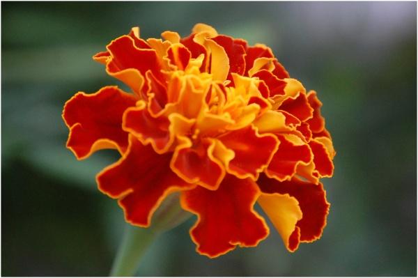 An orange flower