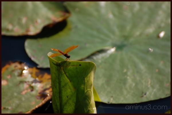 dragonfly on waterlily leaf