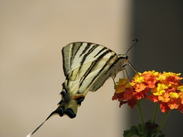 Butterfly in Athens