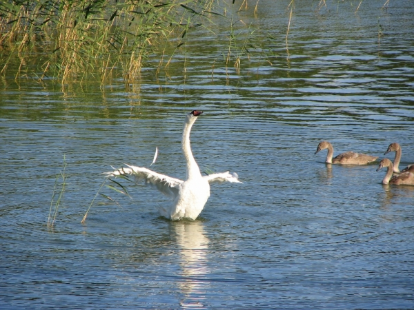 Swans from Masku