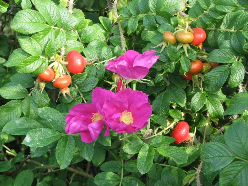 Wild roses from Finland