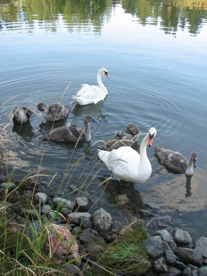 Swan family from Finland