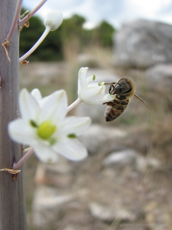 White Wildflower and bee from Epidavros, Greece