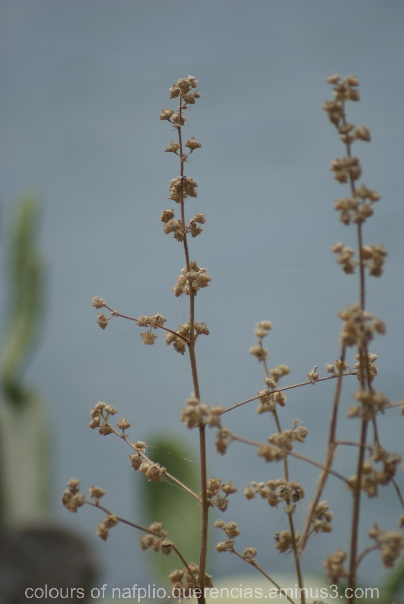 Dried flowers in Arvanitia Promenade, Nafplio