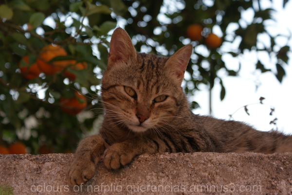 A cat from Nafplio, Greece