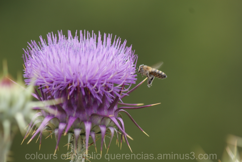 Bee flying around a thistle , Epidavros.Greece