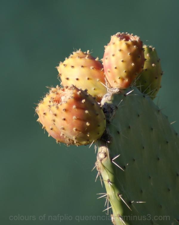 Cactus from Nafplio, Greece