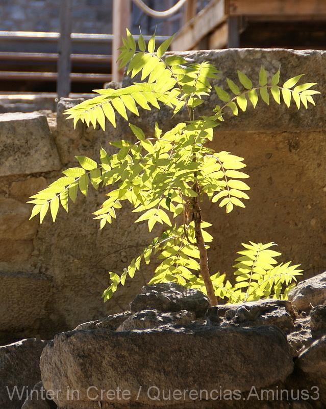 A small tree in Knossos, Crete. Greece