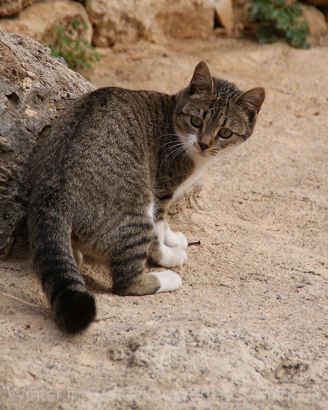 Cat  outside La Fortezza, Rethymno. Crete