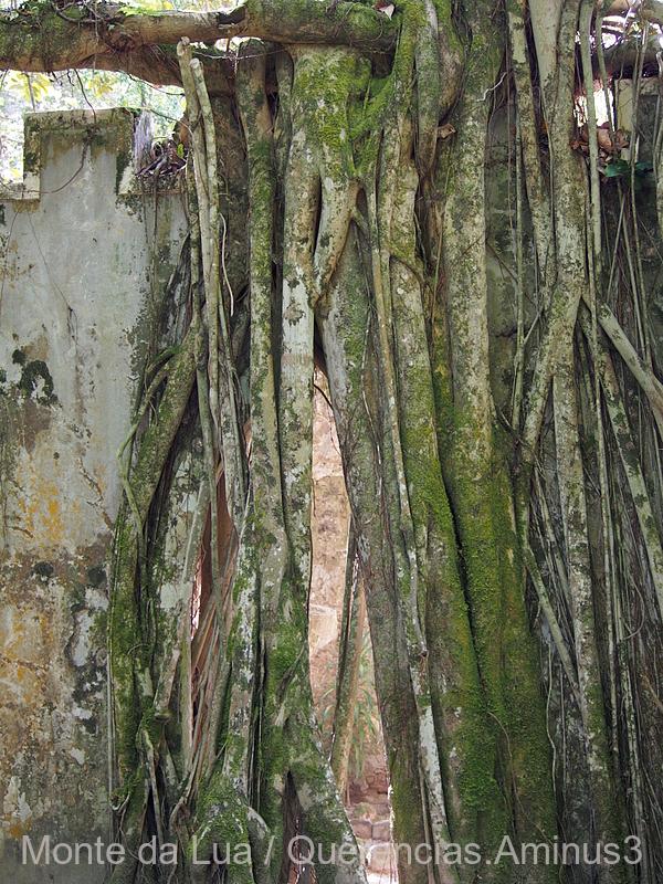 Ficus elastica ,Monserrate, Sintra.