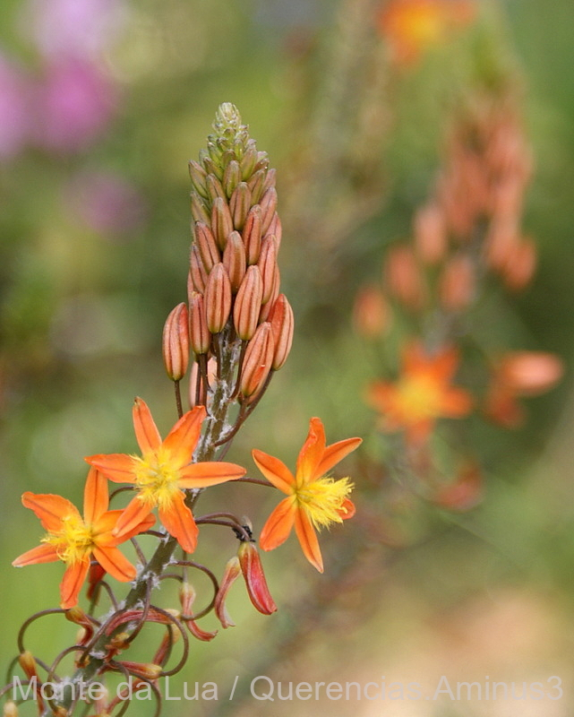 Bulbine Frutescens Orange, Monserrate