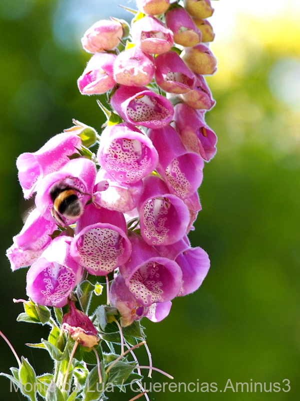 Digitalis Purpurea, Monserrate. Sintra