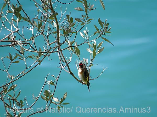 Goldfinch in Karathona`s walk .Nafplio, Greece