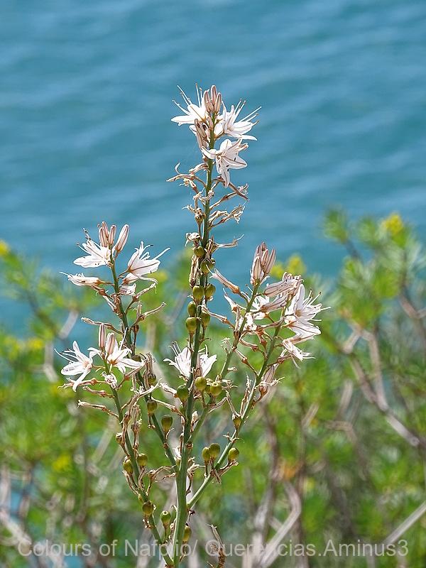 White Asphodel , Nafplio. Peloponnese, Greece.