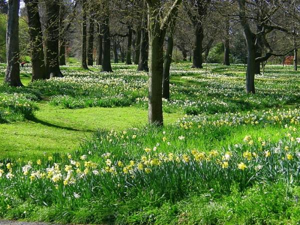 Daffodil lawns