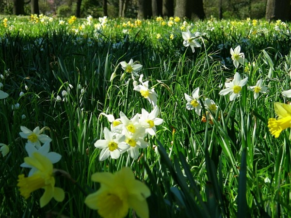 multitudes of daffodils