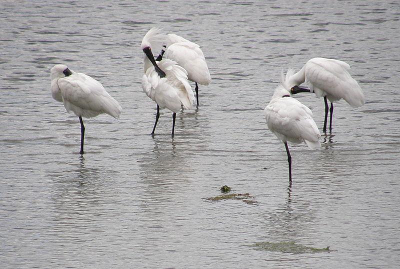 Spoonbills on the estuary