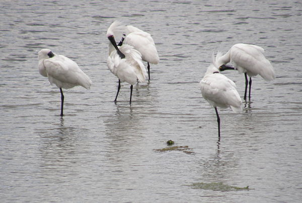 Spoonbills on the estuary