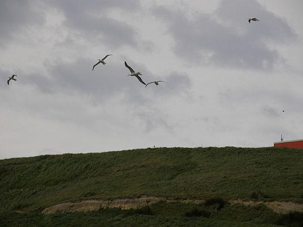 Multitudes of Albatross