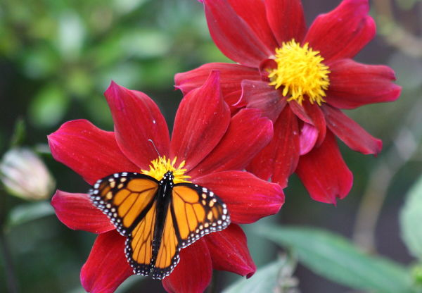 Monarch on Red II
