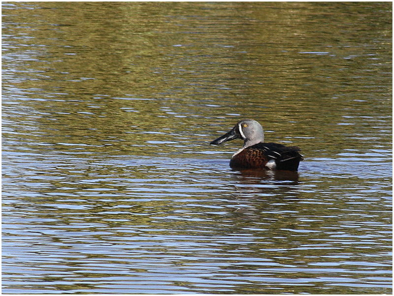 Male Shoveller duck