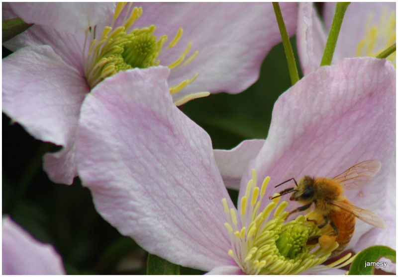 the Clematis and the bee II