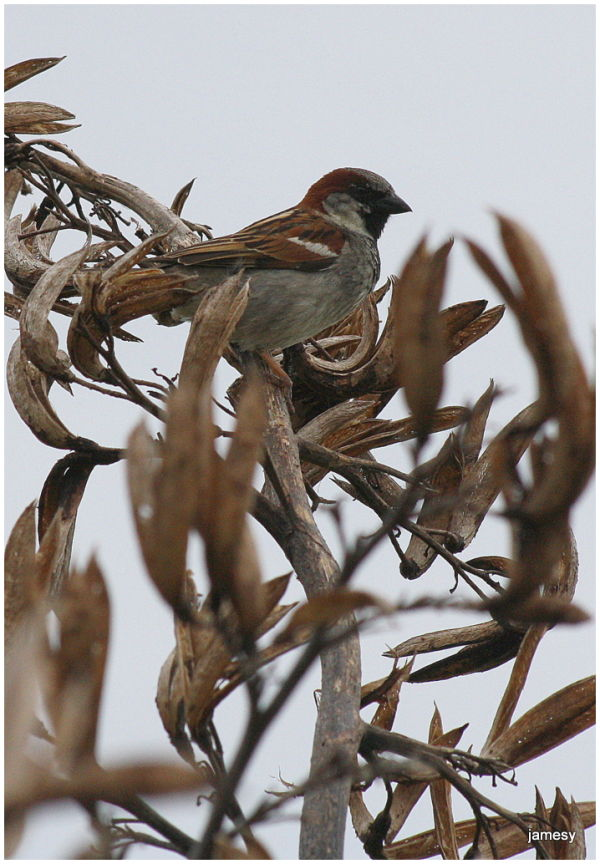 camouflaged sparrow.