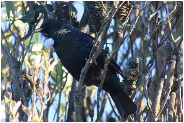 Tui in the tree tops