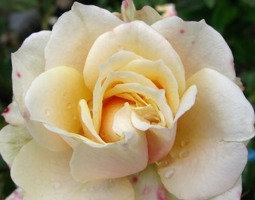 Kathleens Rose