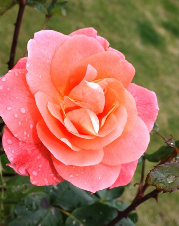 Marys Rose