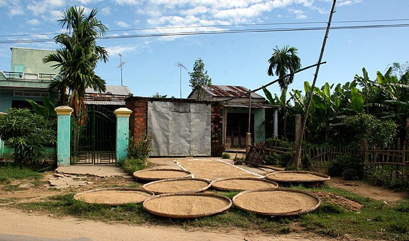 Rice Harvest Vietnam