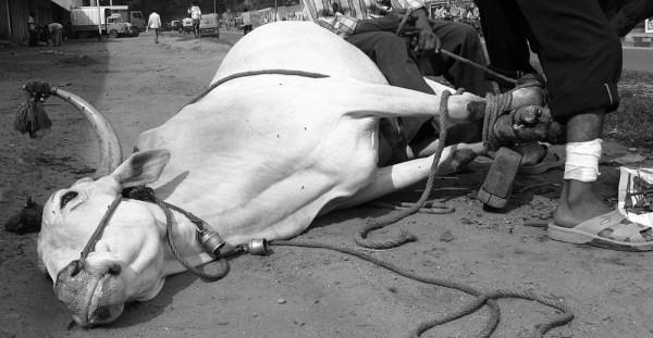 Gopal M S Bangalore street photograph bull