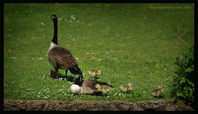 Goslings Set Out