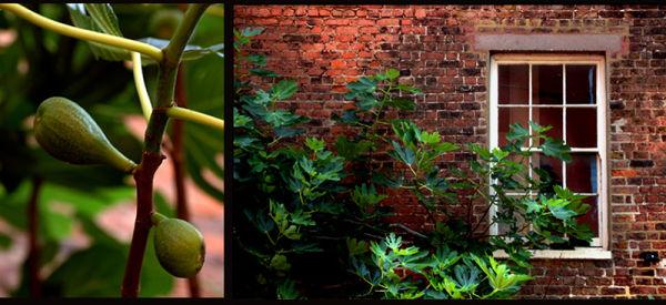 Fig Tree Update