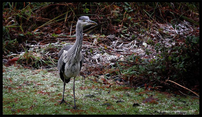 Wandering Heron