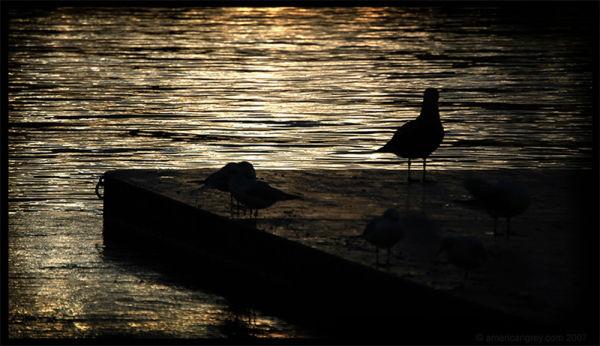 Dusk Gulls