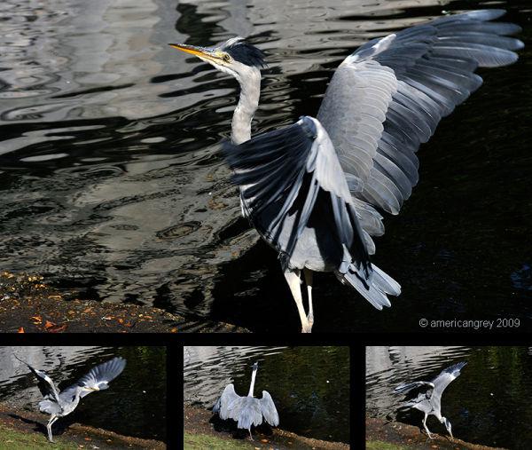 Heron Dancing 2/2