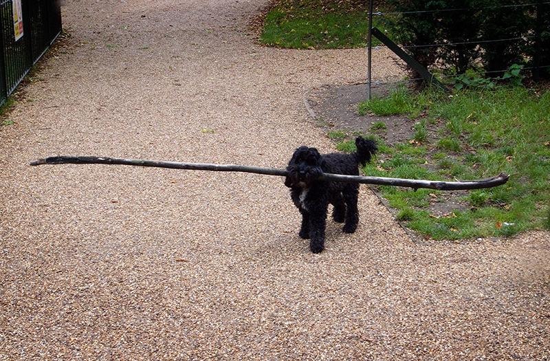Little Dog, Big Stick !