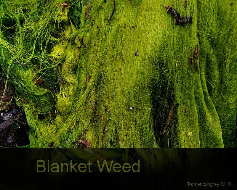 Blanket Weed