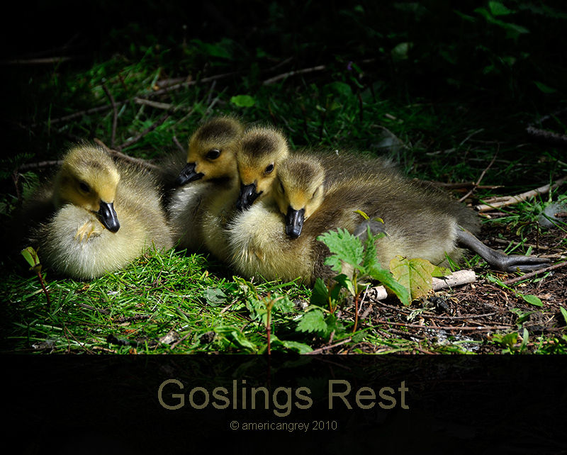 Goslings Rest