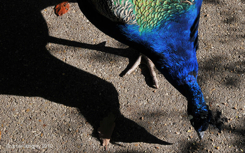 Autumn Peacock