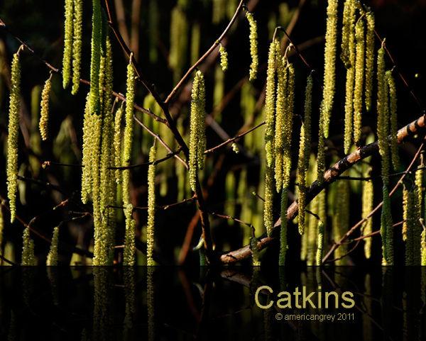 Catkins