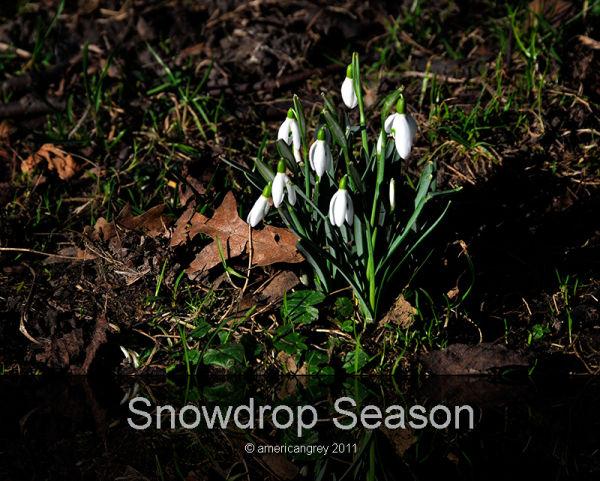 Snowdrop Season
