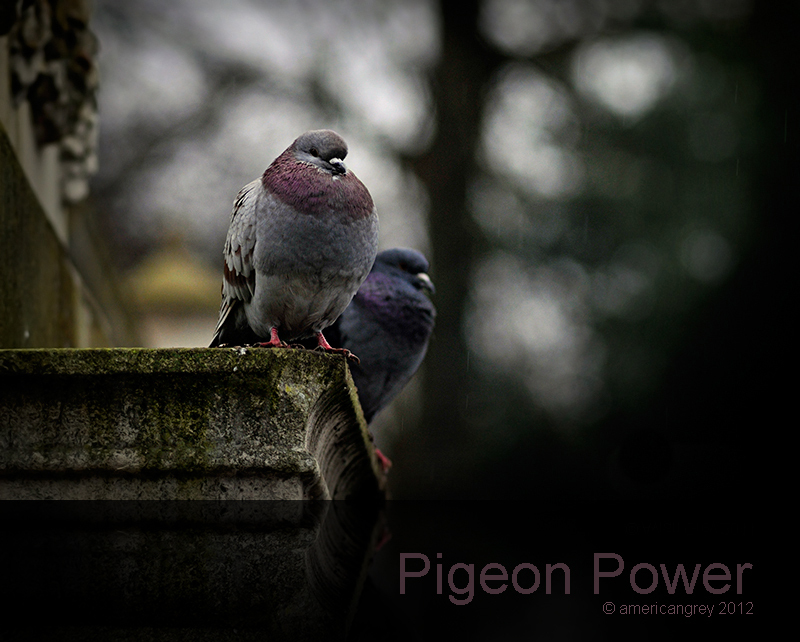Pigeon Power