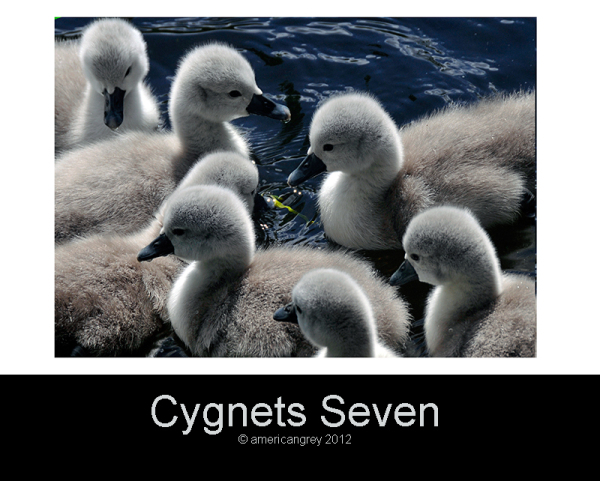 Cygnets Seven