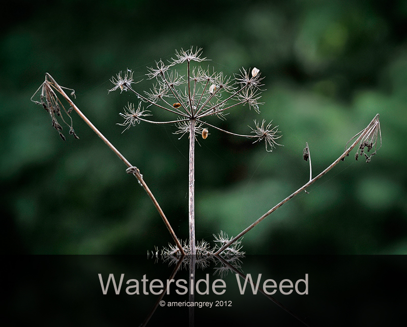 Waterside Weed